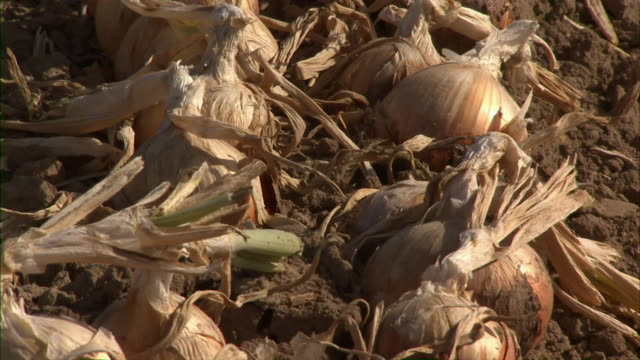 a close, tilt up shot of a row of onions ready to be harvested. - onion stock videos and b-roll footage