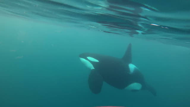 close underwater view of a large male killer whale swimming across in front of the camera and coming to the surface to breathe, kvaenangen fjord area, norway. - whale stock videos & royalty-free footage