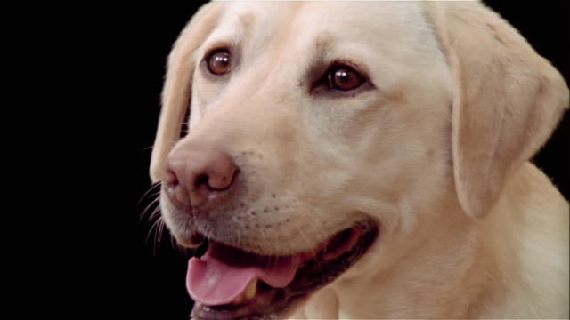 Close up 3/4 portrait of yellow labrador retriever