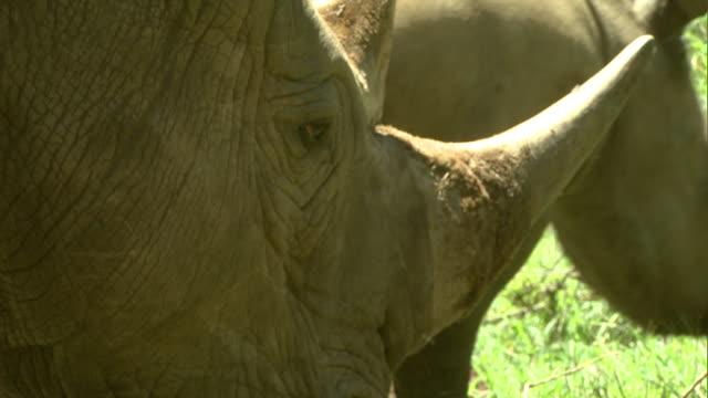 Close Up - A baby rhino lies in the grass next to a grazing rhino / Kenya