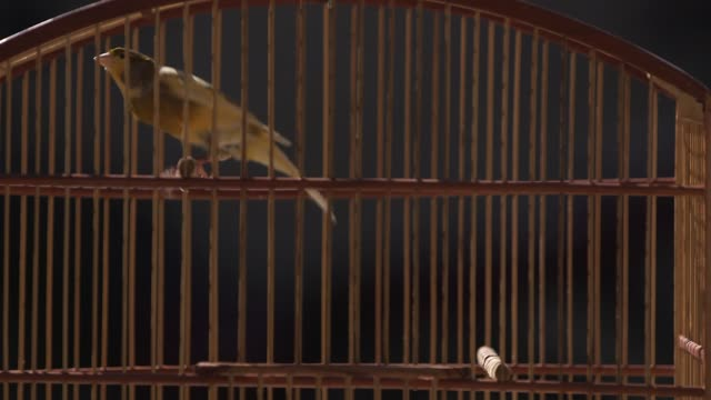close up, a canary vigorously jumping in a wooden cage. general views of impanema favela in rio de janeiro, brazil on june 11, 2013. - cage stock videos & royalty-free footage
