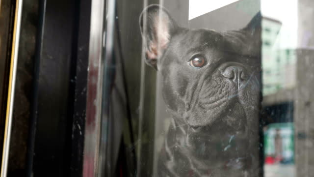 close up a cute sad looking black french bulldog waiting for someone inside the door. - aspettare video stock e b–roll