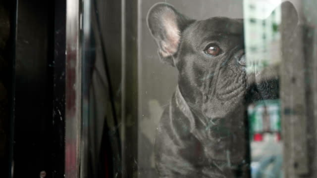 vídeos de stock e filmes b-roll de close up a cute sad looking black french bulldog waiting for someone inside the door. - cultura francesa