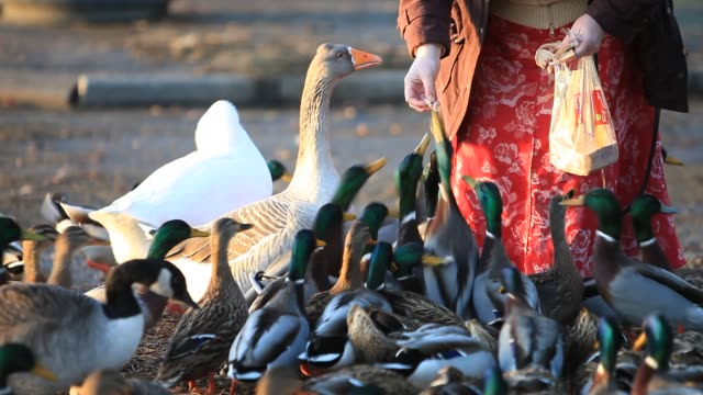 close up a woman feeding birds on lake windermere in ambleside lake district cumbria uk - group of animals stock videos & royalty-free footage