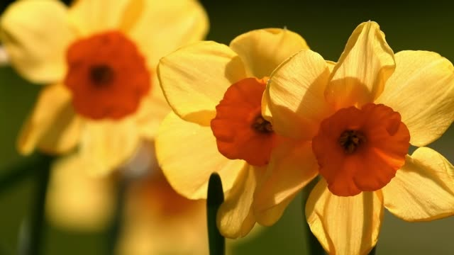 stockvideo's en b-roll-footage met close up a yellow daffodils at the garden - kleine groep dingen