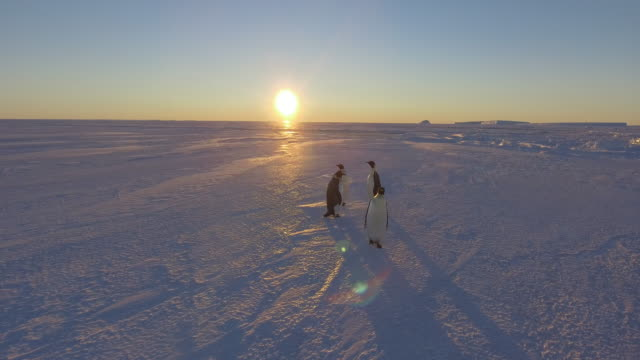 close up aerial of antarctic emperor penguins together at sunset on the sea ice close to the berthing point for resupply of the indian station maitri... - antarctica research stock videos & royalty-free footage