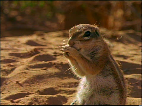 close up African ground squirrel eating something between paws / Africa