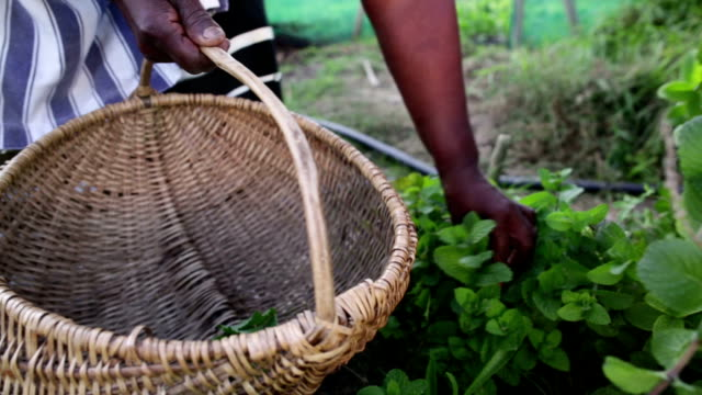 close up african woman harvesting herbs - harvesting stock videos and b-roll footage