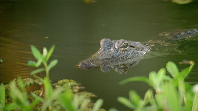 close up alligator half-submerged in river - aquatic organism stock videos & royalty-free footage