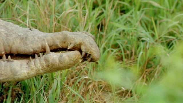 close up alligator lying still in tall grass / venezuela - animal teeth stock videos & royalty-free footage
