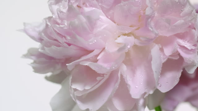 close up and slow motion of drops of dew form coming out from a waving light pink peony flower - condensation stock videos & royalty-free footage