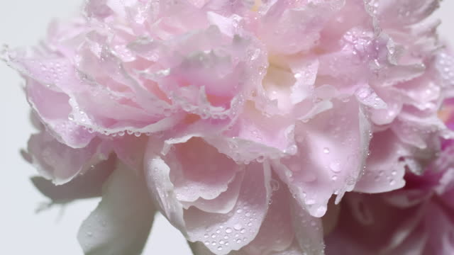 close up and slow motion of drops of dew form coming out from a waving light pink peony flower - flower head stock videos & royalty-free footage
