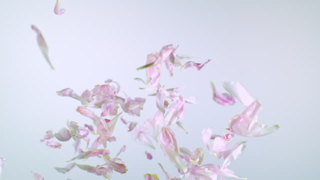 close up and slow motion of peony pink petals exploding from the bottom, filling up the frame and falling down on white background - baumblüte stock-videos und b-roll-filmmaterial