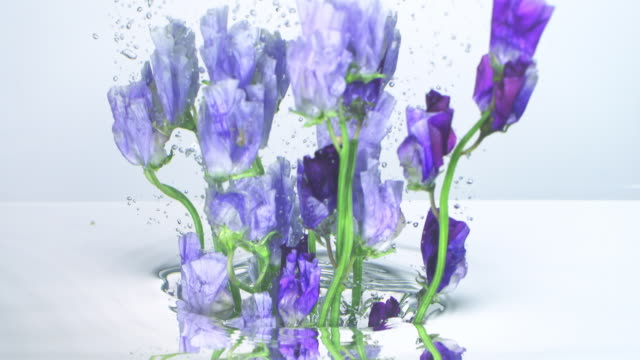 close up and slow motion view, a bunch of purple sweet pea flower pulling out from under water and making waves and air bubbles on white background - petal stock videos & royalty-free footage