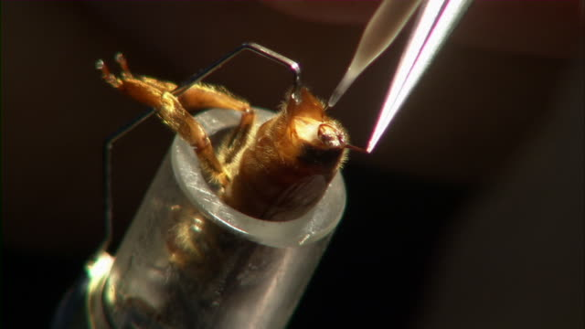 stockvideo's en b-roll-footage met close up and zoom out on queen bee being artificially inseminated. - kunstmatige inseminatie