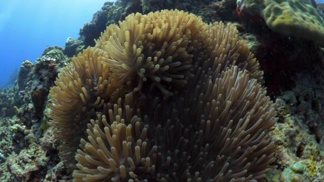 vidéos et rushes de close up anemone, few clown fish, zoom out - corail cnidaire