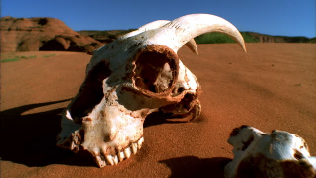 vídeos de stock e filmes b-roll de close up animal skull and skeleton in sand / hills in background - morte