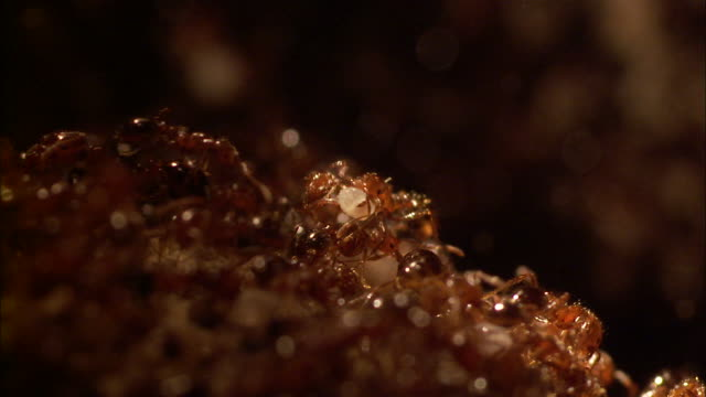 close up - ant colony crawling about carrying bits of white substance /  - ant stock videos & royalty-free footage