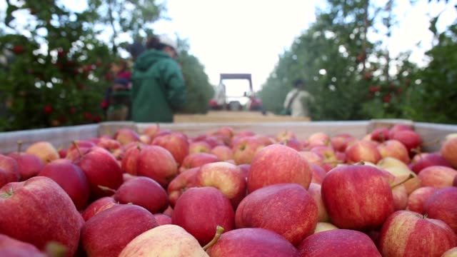 close up, apple pickers gather gala apples in an orchard at stocks farm in suckley, near worcester, on october 8, 2013 in worcestershire, england.... - lavoratore emigrante video stock e b–roll