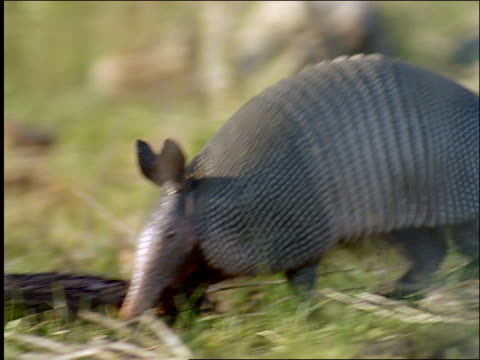 close up armadillo running on grass / Texas