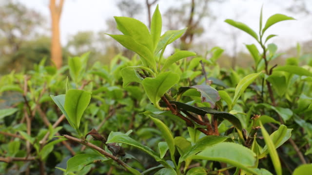 close up at the crops of a tea plant on a field near bagdogra - west bengal stock videos and b-roll footage