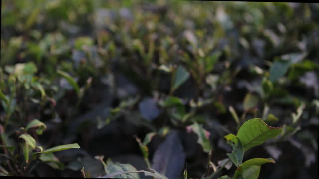 close up at the crops with some tiny flowers of a tea plant on a tea field near bagdogra - west bengal stock videos and b-roll footage