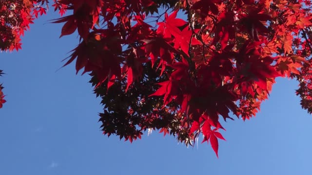 Close up Autumn red maple background with sunlight