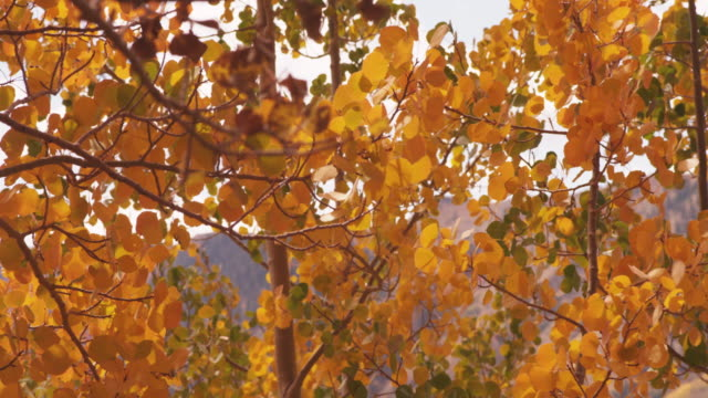 close up, autumn tree leaves blow in breeze - schwanken stock-videos und b-roll-filmmaterial