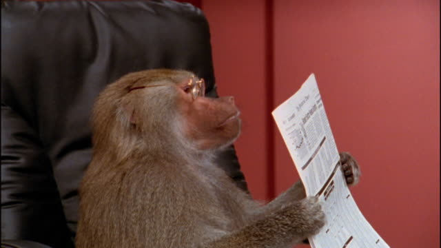 Close up baboon in eyeglasses holding newspaper / removing glasses