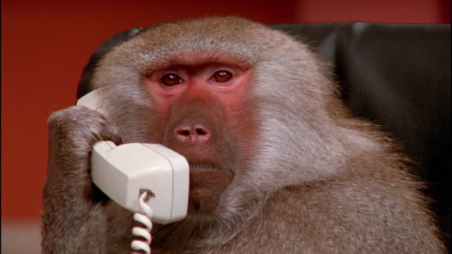 Close up baboon listening and making noise on telephone