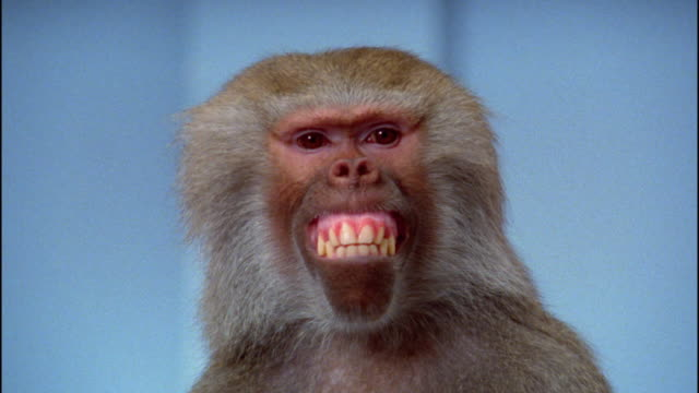 vídeos de stock e filmes b-roll de close up baboon making faces - animal body part