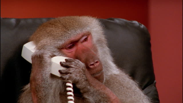 vidéos et rushes de close up baboon making noise on telephone - un seul animal
