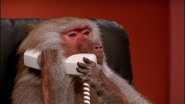 Close up baboon making noise on telephone