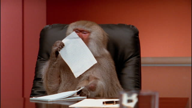 Close up baboon sitting at desk tearing sheet of paper out of notepad / eating paper