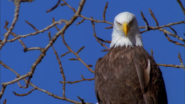close up bald eagle and bare branch against blue sky - whatif点の映像素材/bロール