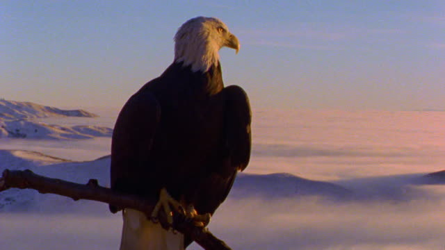 close up bald eagle sitting on tree branch looking around with mountains + fog in background / Boise Basin, Idaho