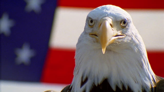 vídeos de stock e filmes b-roll de close up bald eagle turning head in front of american flag - patriotismo