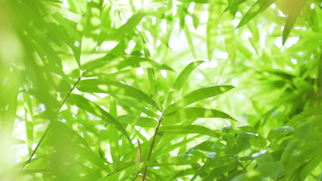 4k close up bamboo leaf. - bamboo plant stock videos & royalty-free footage