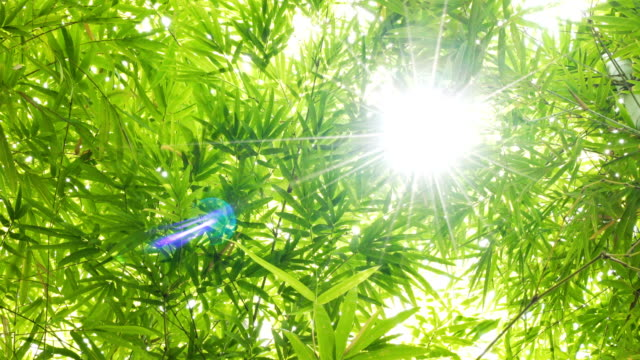 stockvideo's en b-roll-footage met 4k close-up bamboe blad met lens flare en wind. - bamboo plant