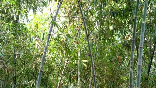 close up bamboo tree in tropical rain forest - bamboo plant stock videos & royalty-free footage