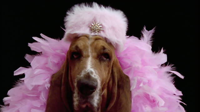 Close up Bassett Hound in feather boa and pillbox hat/ California