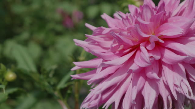 close up beautiful dahlia flower in dolly motion - ダリア点の映像素材/bロール