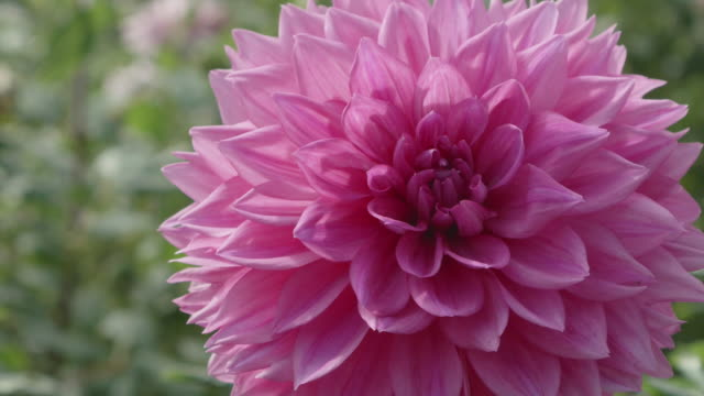 Close up beautiful Dahlia flower in dolly motion