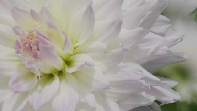 close up beautiful dahlia flower - ダリア点の映像素材/bロール
