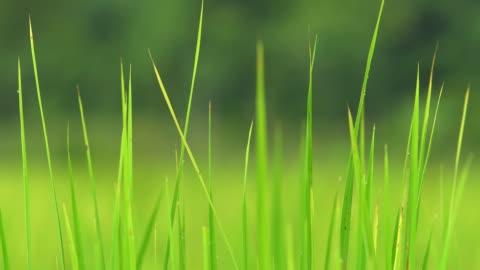 nahaufnahme schöne grüne reispflanze. - grass stock-videos und b-roll-filmmaterial