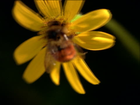close up bee on golden aster flower / canadian rockies - cinematografi bildbanksvideor och videomaterial från bakom kulisserna