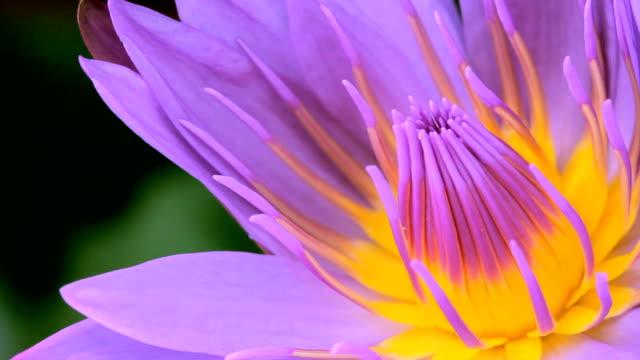 vidéos et rushes de fermez les abeilles sur la fleur de lotus - lis