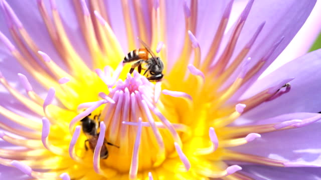 Close up bees on lotus flower