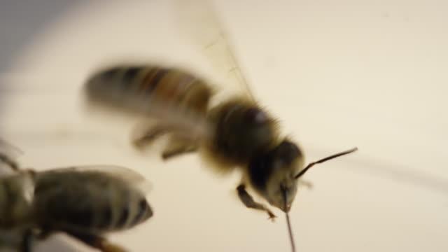 stockvideo's en b-roll-footage met close up bees - vier dieren
