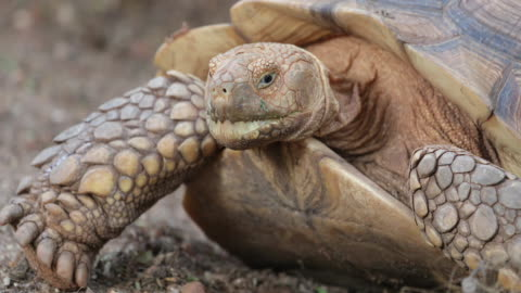 nahaufnahme der großen afrikanischen angespornt, schildkröte oder sulcata schildkröte - landschildkröte stock-videos und b-roll-filmmaterial